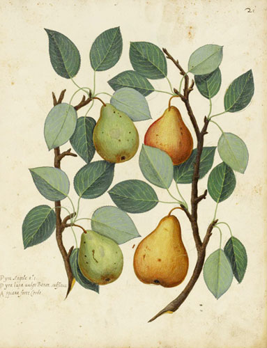 Botanical-Fruit-Pear-Italia