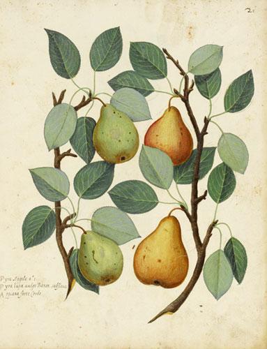 Botanical-Fruit-Pear-Italia